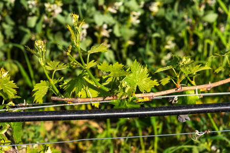 Green young vine in the sunlight close-up in spring. Tuscany, Italy. Stockfoto