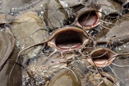 snake head fish: Il grande pesce gatto