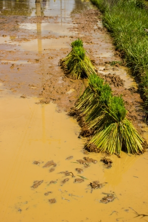 The rice seedlings in thailand photo