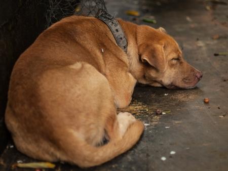 Brown dog sleeping beside the wall. photo