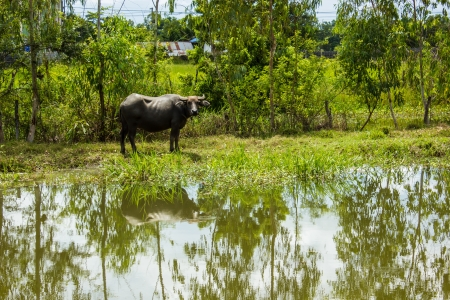 The big Buffalo pond in thai photo