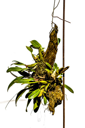 botanica: The Green orchids hanging on branches. Stock Photo