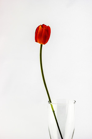 The Orange tulips. A green stem. photo