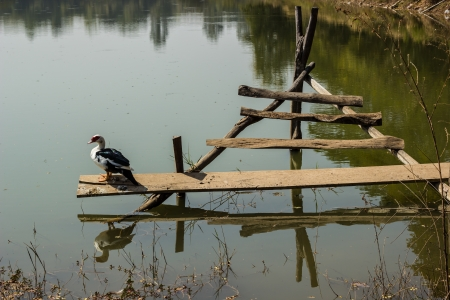 Ducks on a log in the sun in asia photo
