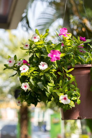 The Petunia flowers planted on pots hanging. photo