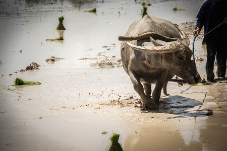 plough: Plough with water buffalo, rice field Asia Stock Photo