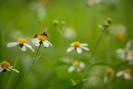 entomology: White flowers on a meadow with Wasps.