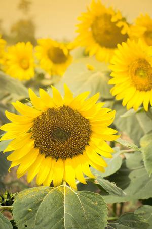 regeneration: Sunflowers garden. Sunflowers have abundant health benefits. Sunflower oil improves skin health and promote cell regeneration.