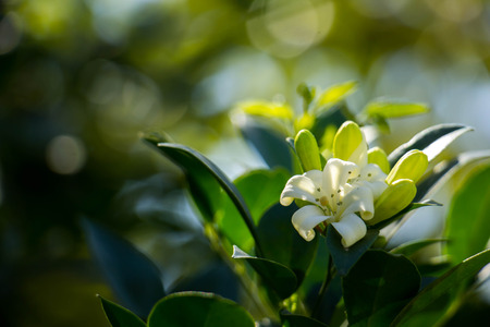 ye: White flowers with green leaves.