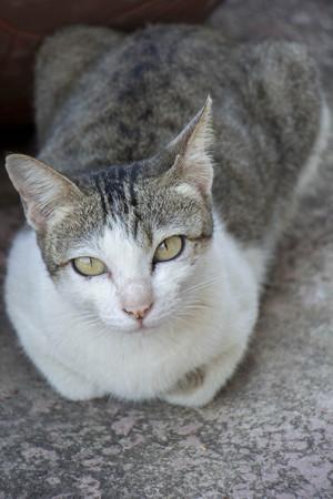 Thailand big cat fur is pretty cute. Stock Photo