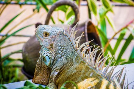 tiredness: Iguana Photo Close-up portrait  Large Green