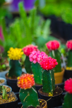 Small colorful cactus in container for planting.