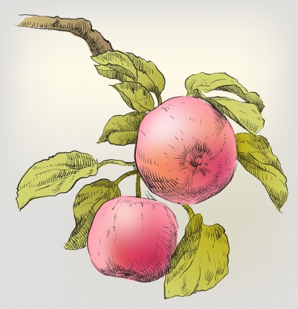 Hand drawing apples on apple tree branch Vector
