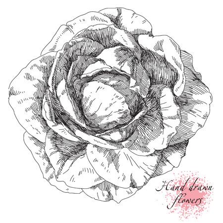 rose flowers: Beauty hand drawn illustration with rose flowers. Illustration