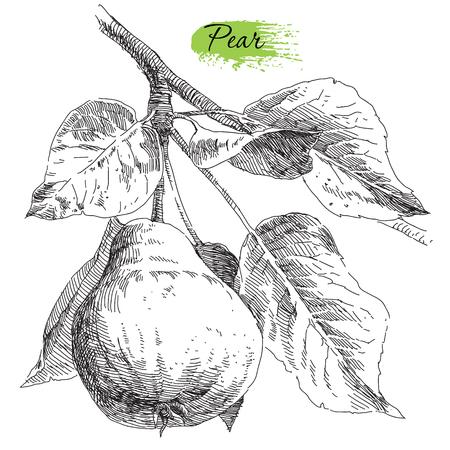 fruit tree: Beauty hand drawing pears on pear tree branch