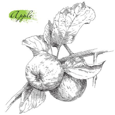zeichnen: Beauty Handzeichnung Apfel auf Apfelbaumzweig