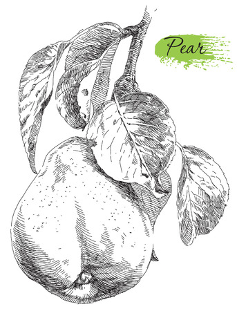 pear tree: Beauty hand drawing pears on pear tree branch