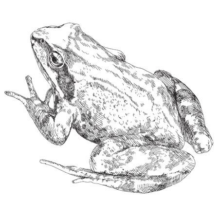 lizard in field: Belleza vector dibujado a mano rana. Ilustración del vector.