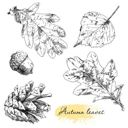 hojas antiguas: Conjunto Botánico. Hojas dibujadas Vintage mano muy detallado.