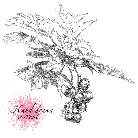 Beauty hand drawn vector berries. Currant illustration.