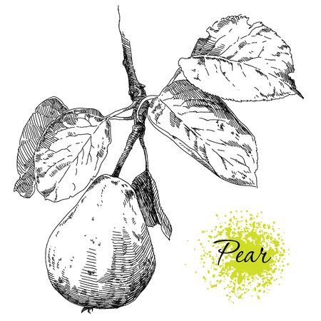 Beauty hand drawing pears on pear tree branch