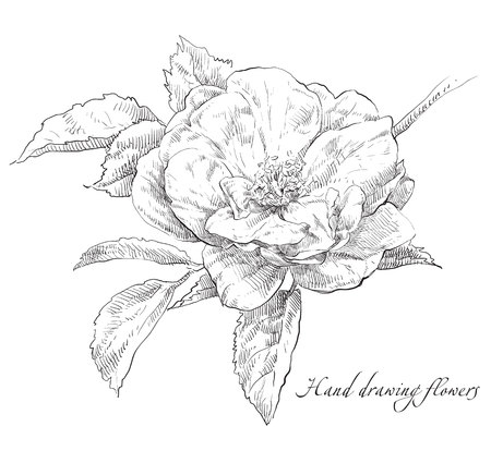 Beauty hand drawn illustration with rose flowers. Banco de Imagens - 49351972