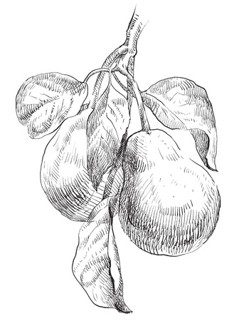 pear tree: Hand drawing pears on pear tree branch.
