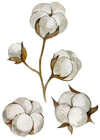 watercolor illustration. inflorescence cotton set