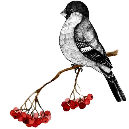 illustration bullfinch on a branch of mountain ash Stock Photo