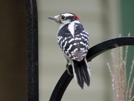 downy: Male Downy Woodpecker Stock Photo
