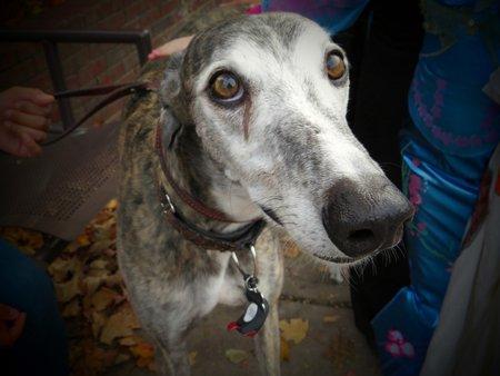 Greyhound close up Stock Photo