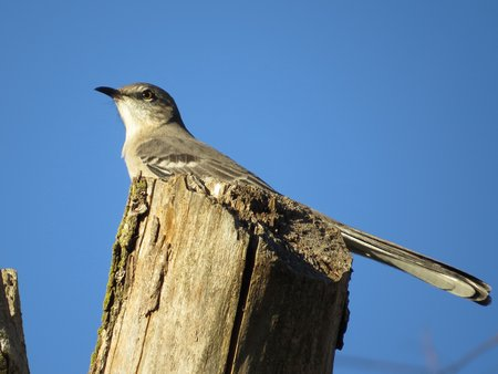 Northern Mockingbird Stretching Out His Tail Stock Photo