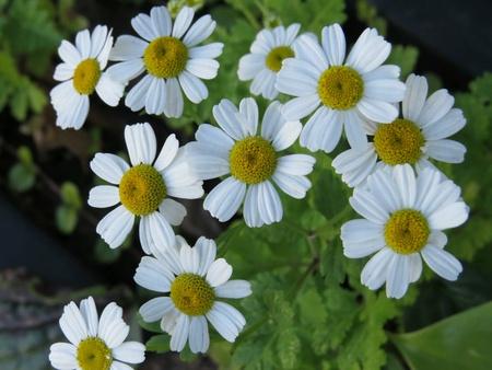 daisys: White Daisies Stock Photo