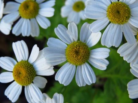 daisys: Daisies