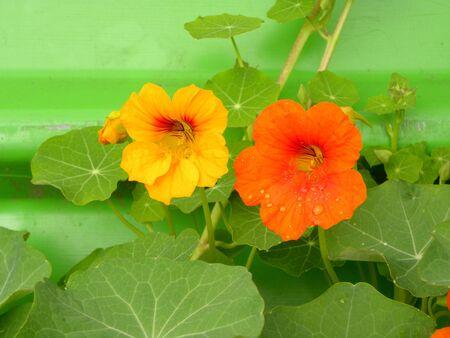 Beautiful flowers of nasturtiums. Nasturtium plants in the garden. Bright flowers in summer. Beautiful orange and yellow flower.