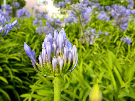 Large lilac umbrella-shaped inflorescences of Agapanthus. The unopened bud of Agapanthus, or Lily of the Nile.