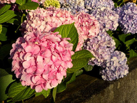 Macro photo of hydrangea flower. Details of pink petals with green leafs. Beautiful colorful pink texture of flowers for designers. Hydrangea macrophylla.