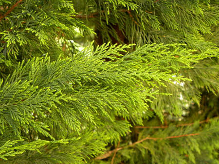 Closeup of Beautiful green christmas leaves of Thuja trees on green background. Thuja twig, Thuja occidentalis is an evergreen coniferous tree.