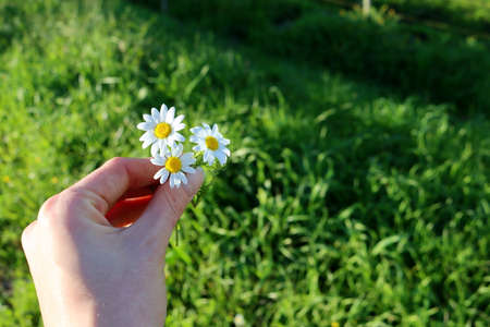 Three daisies in a female hand on a blurred green background