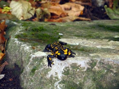 salamander: The fire salamander Salamandra Salamandra on a stone, Slovakia