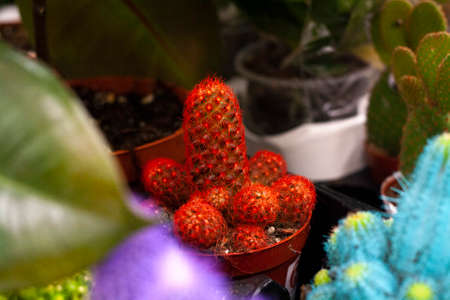 Red cactus in a pot among other cacti in the store Banque d'images