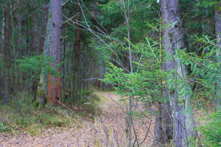 Forest path strewn with leaves firs and pines