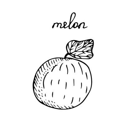Melon with a leaf vector illustration sketch