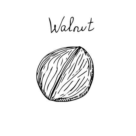 Walnut set shelled vector illustration hand drawing sketch