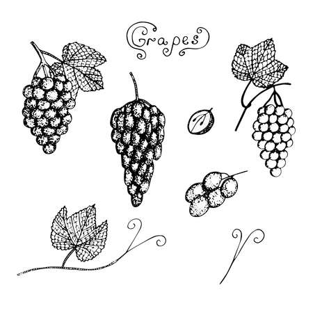 Set of grapes vector illustration bunches of grapes leaves and twigs cut grapes sketch Ilustração