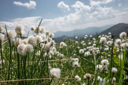 Mountain landscape. green meadow with a plant of cotton grass in the foreground