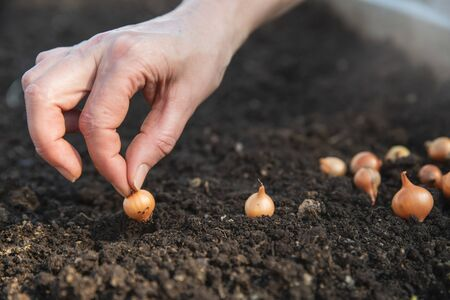 Onion seeds are planted in the ground. close-up of hand Imagens