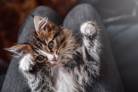 Little fluffy cute kitten lies on its owner's lap. Funny domestic animals