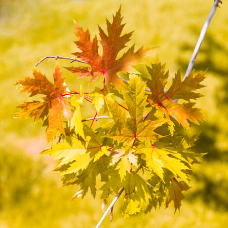 Bright yellow and orange maple leaves on a branch on a background of grass. The concept of autumn and wilting. Square photo