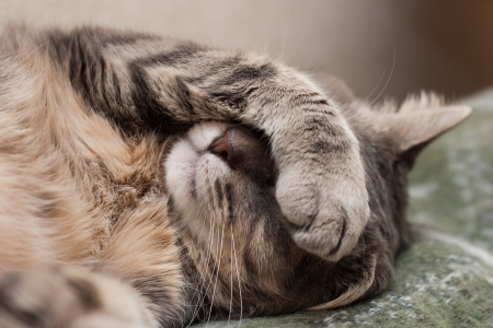 Cute sleeping gray domestic cat closeup portrait photo